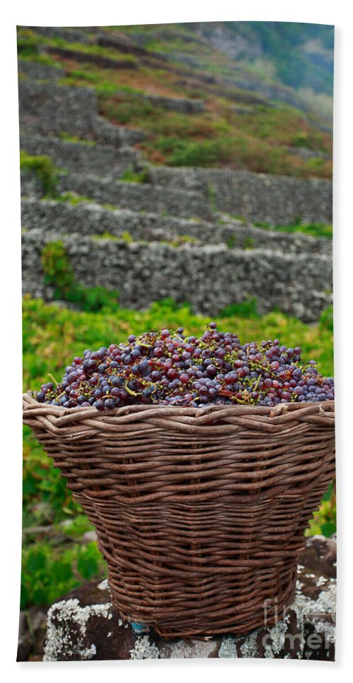 Basket Beach Towel featuring the photograph Grape Harvest by Gaspar Avila