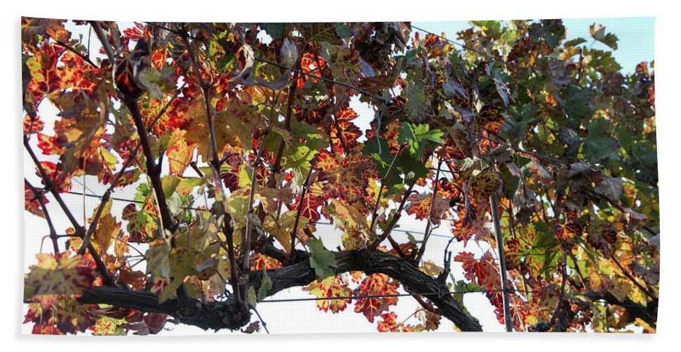 Grape Beach Towel featuring the photograph Grape Vine In Autumn by Yoel Koskas