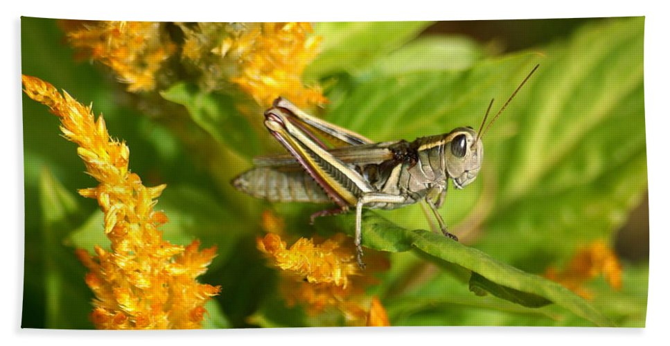 Spokane Beach Towel featuring the photograph Grasshopper by Ben Upham III