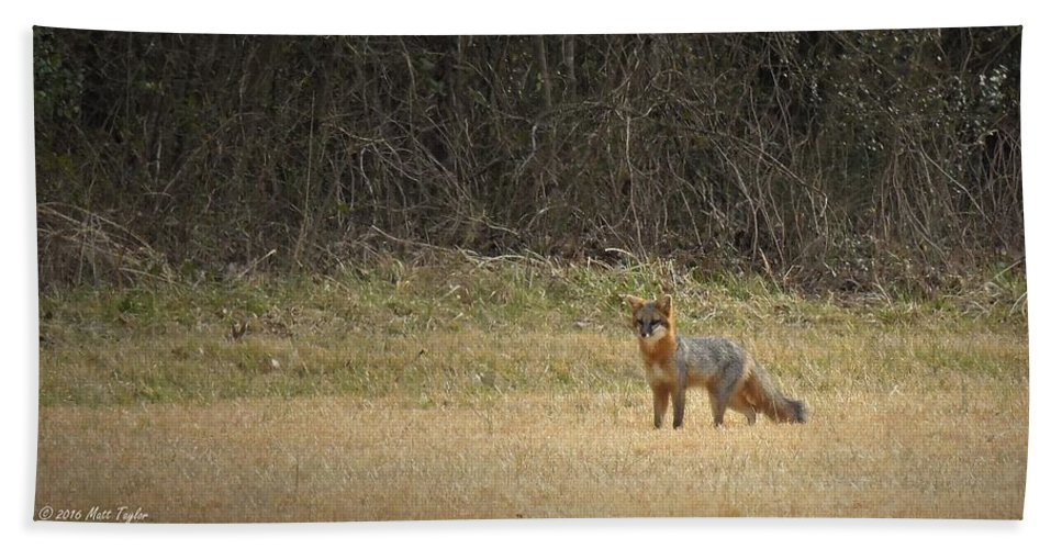 Animals Beach Towel featuring the photograph Gray Fox In Lower Pasture by Matt Taylor