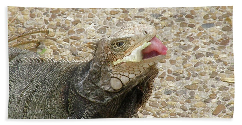 Iguana Beach Towel featuring the photograph Gray Iguana Eating Lettuce With His Pink Tongue Sticking Out by DejaVu Designs