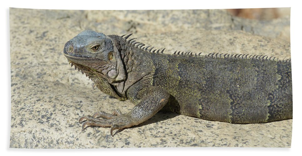Iguana Beach Towel featuring the photograph Gray Iguana With Long Talons Sitting On A Rock by DejaVu Designs