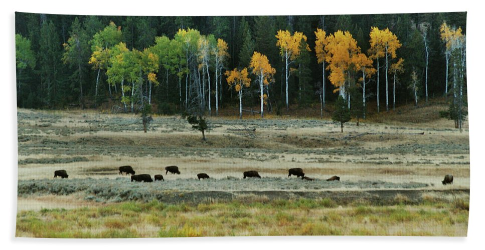 Bison Beach Towel featuring the photograph Grazing Bison by Michael Peychich
