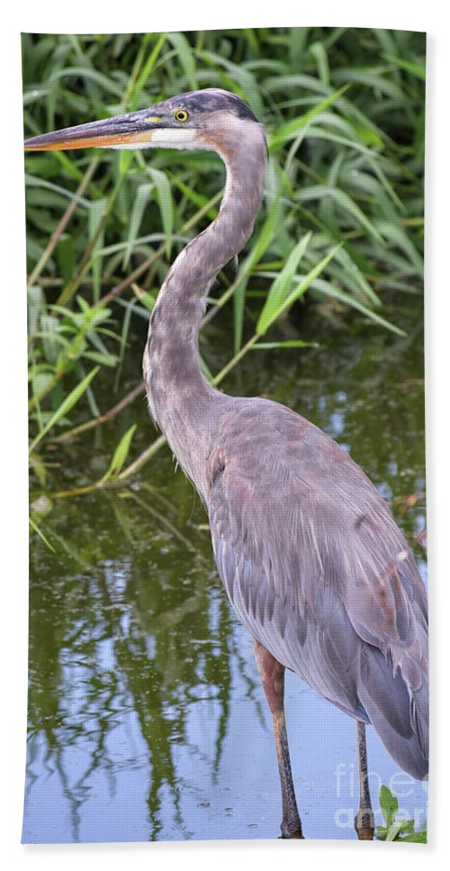 Great Blue Heron Beach Towel featuring the photograph Great Blue Heron Closeup by William Tasker