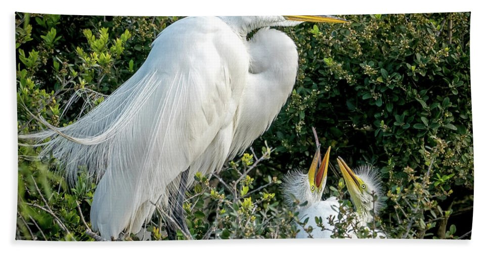 Great Egrets Beach Towel featuring the photograph Great Egret Mom And Babies by Judi Dressler