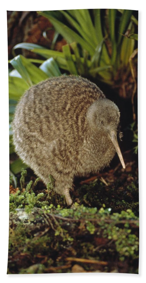 Mp Beach Towel featuring the photograph Great Spotted Kiwi Apteryx Haastii Male by Tui De Roy