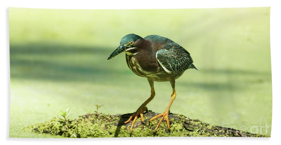 Animal Beach Towel featuring the photograph Green Heron In Green Algae by Robert Frederick