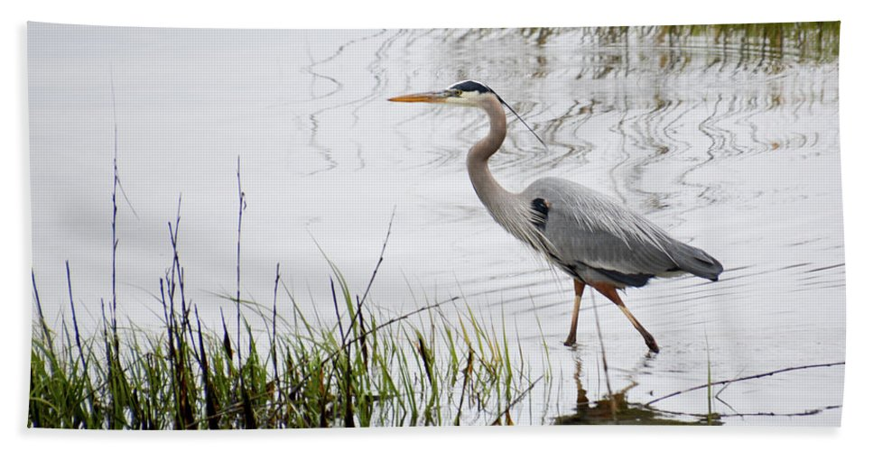 Avian Beach Towel featuring the photograph Grey Heron #3 by Tim Bond