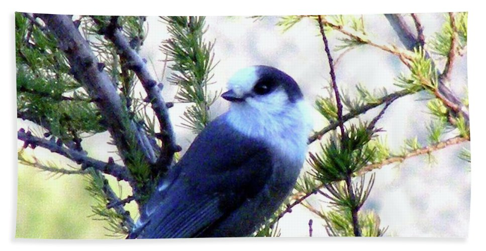 Grey Jay Beach Towel featuring the photograph Grey Jay In A Juniper Tree by Barbara Griffin