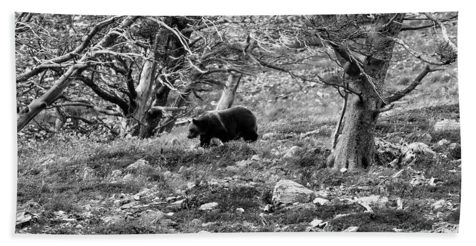 Glacier National Park Beach Towel featuring the photograph Grizzly Walking Through Dead Trees - Black And White by Mark Kiver