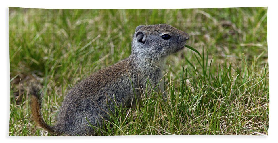 Animal Beach Towel featuring the photograph Ground Squirrel by Randall Ingalls