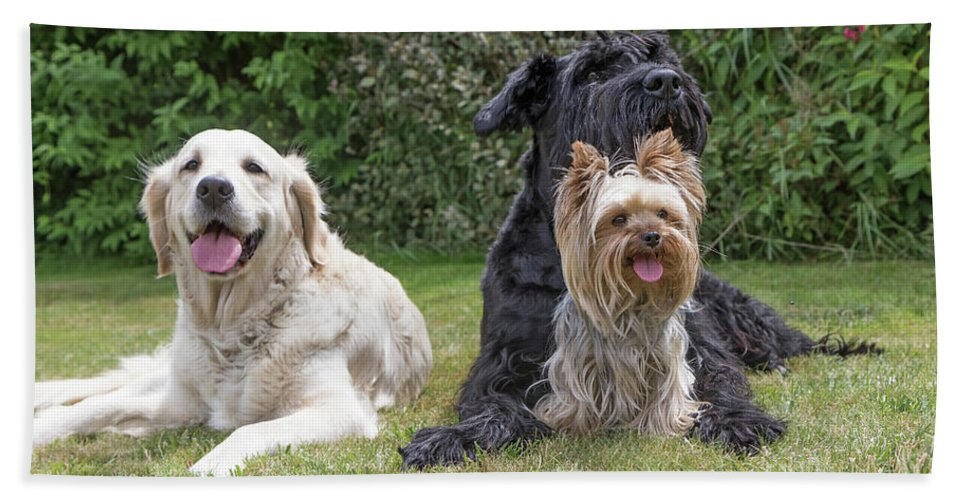 Pet Beach Towel featuring the photograph Group Of Three Dogs by Jaroslav Frank