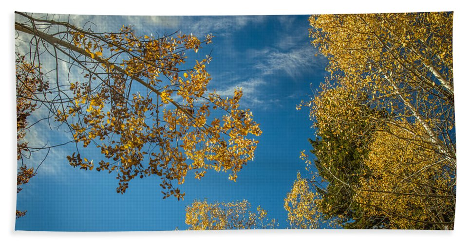 Autumn Beach Towel featuring the photograph Hanging Aspen by Robert Bales
