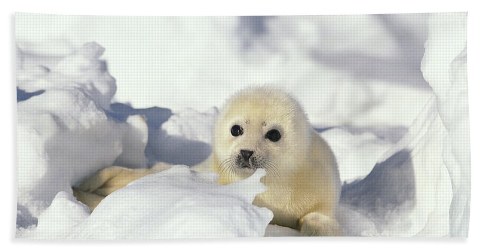 Mp Beach Towel featuring the photograph Harp Seal Phoca Groenlandicus Pup, Gulf by Gerry Ellis