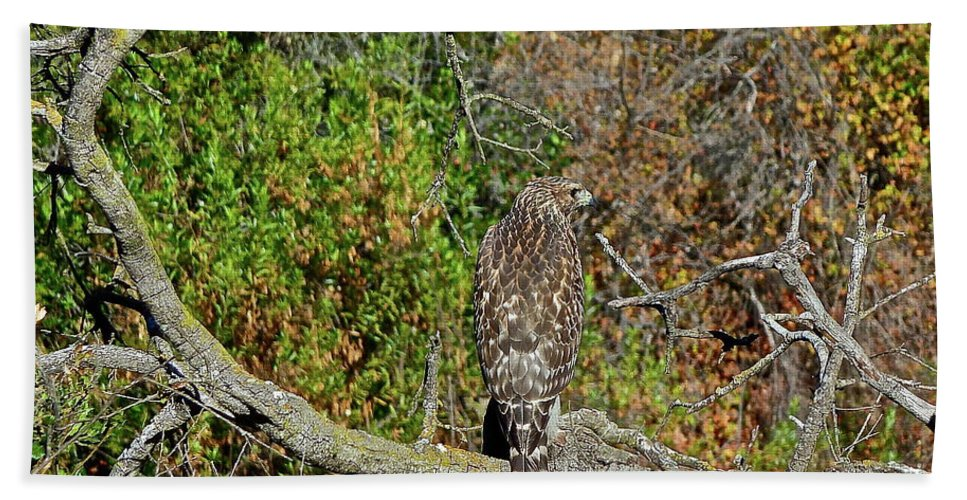 Birds Beach Towel featuring the photograph Hawk In Hiding by Diana Hatcher