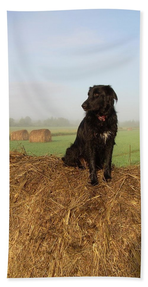 Dog Beach Towel featuring the photograph Hay There Black Dog by Kent Lorentzen