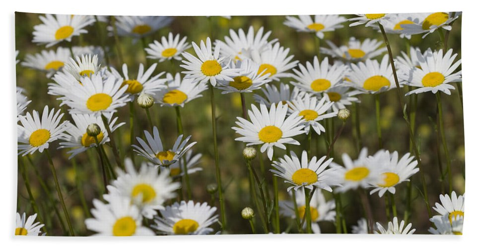 Oxeye Daisies Beach Towel featuring the photograph He Loves Me Daisies by Kathy Clark