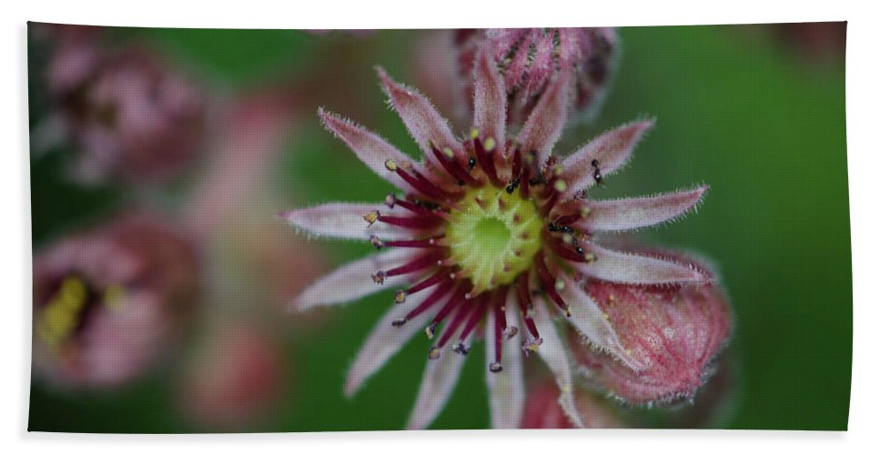 Plant Beach Towel featuring the photograph Hens And Chicks by Linda Howes