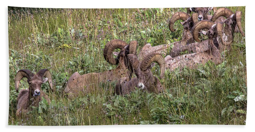 Bighorn Sheep Beach Towel featuring the photograph Herd Of Bighorn Sheep by Amy Sorvillo