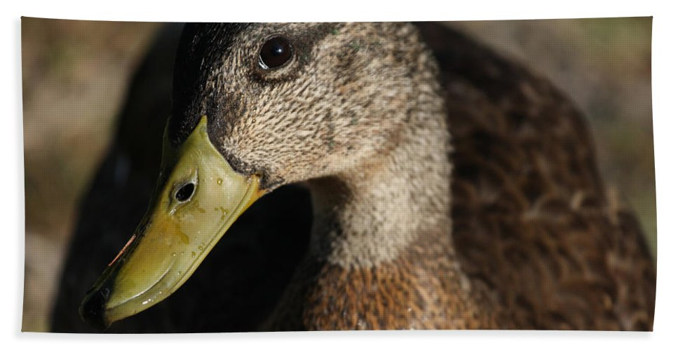 Duck Beach Towel featuring the photograph Heres Looking At You by Karol Livote