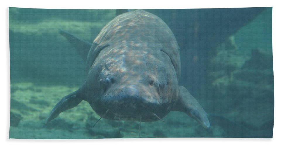 Fish Beach Towel featuring the photograph Herman The Sturgeon by Rich Bodane