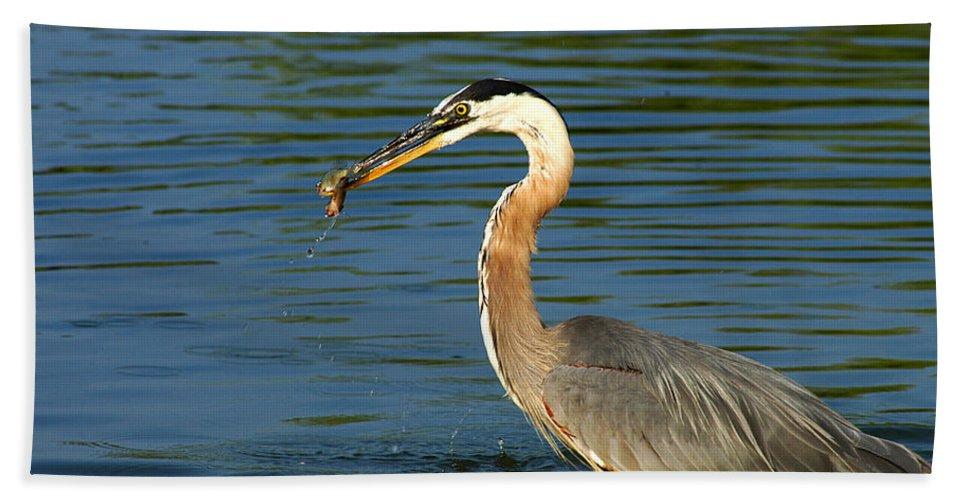 Clay Beach Towel featuring the photograph Herons Catch by Clayton Bruster