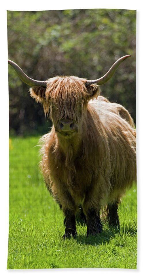 Agriculture Beach Towel featuring the photograph Highland Cow by Randall Ingalls