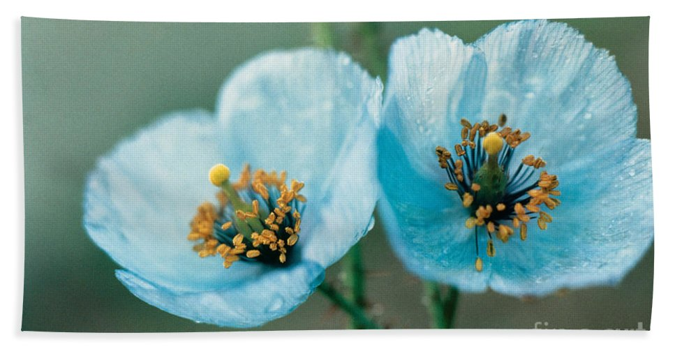 Flower Beach Towel featuring the photograph Himalayan Blue Poppy by American School