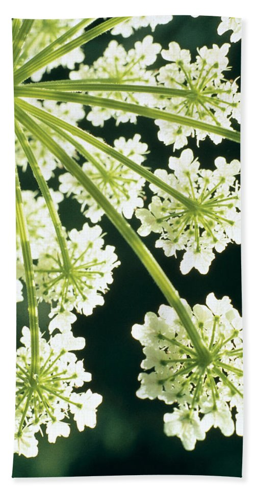 Flower Beach Towel featuring the photograph Himalayan Hogweed Cowparsnip by American School