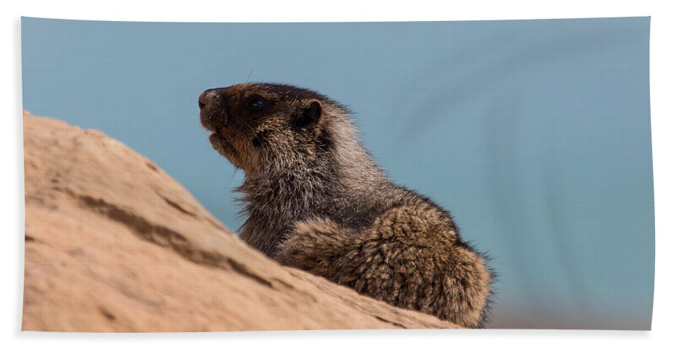 Beach Towel featuring the photograph Hoary Marmot On Blue by J and j Imagery