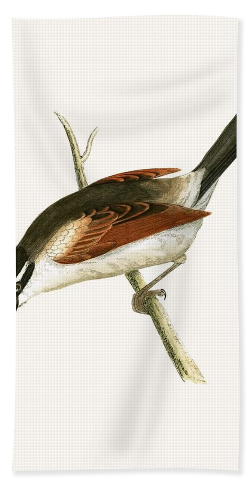 Bird Beach Towel featuring the painting Hooded Shrike by English School
