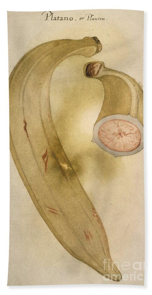 1585 Beach Towel featuring the photograph Horn Plantain, 1585 by Granger