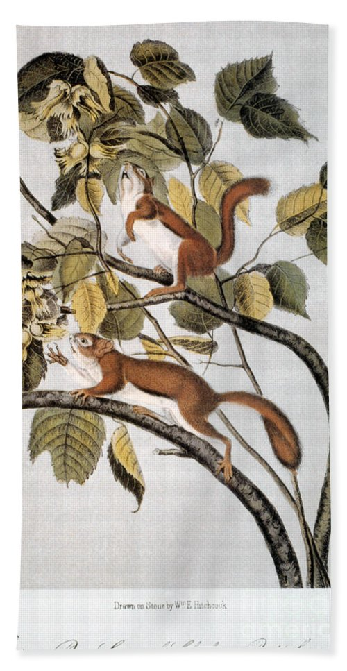1846 Beach Towel featuring the photograph Hudsons Bay Squirrel by Granger