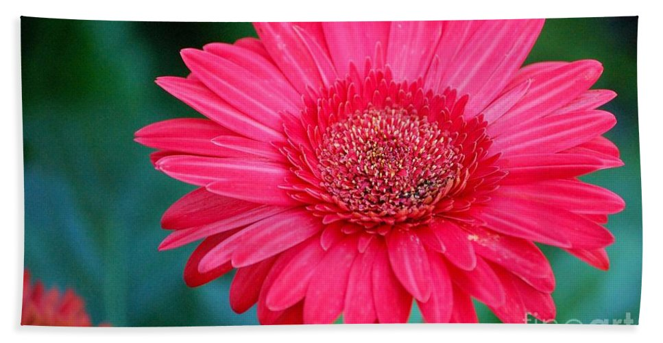Gerber Daisy Beach Towel featuring the photograph In The Pink by Debbi Granruth