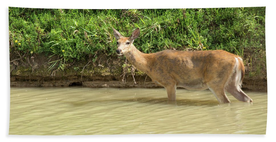 White Tailed Deer Beach Towel featuring the photograph In The River by Linda Kerkau