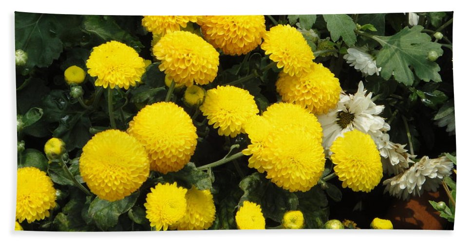 Yellow Beach Towel featuring the photograph Indian Mums - Yellow Chaamanthi by Usha Shantharam