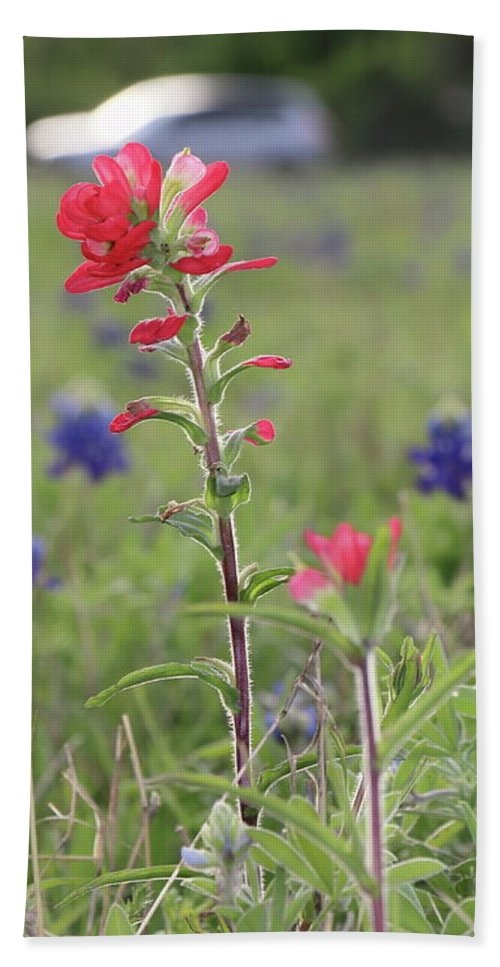 Flower Gifts Beach Towel featuring the photograph Indian Paintbrush Flower by Iris Kohn-Wiener