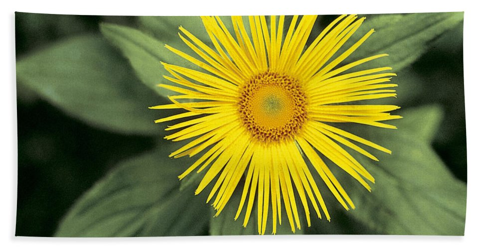 Yellow Beach Towel featuring the photograph Inula Grandiflora by American School
