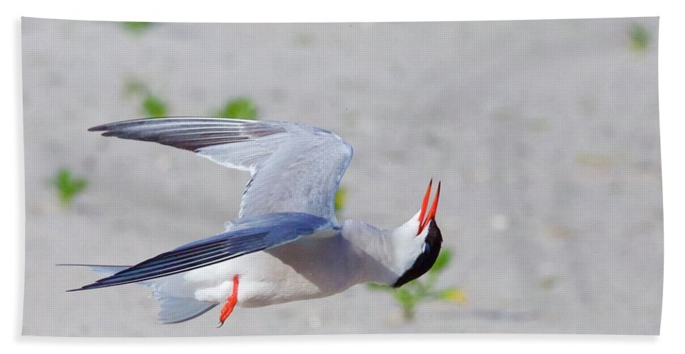 A Common Tern ! Beach Towel featuring the photograph Inverted Flight by John Kearns