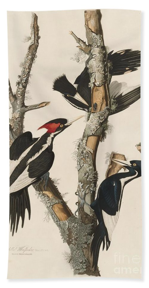 Beach Towel featuring the drawing Ivory-billed Woodpecker by Robert Havell After John James Audubon