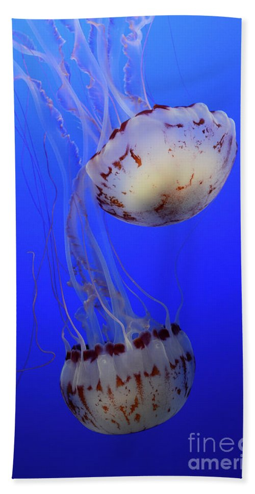 Jellyfish Beach Towel featuring the photograph Jellyfish 1 by Bob Christopher