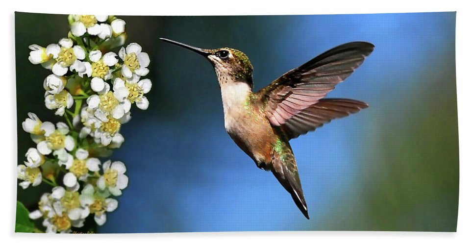 Hummingbird Beach Towel featuring the photograph Just Looking by Christina Rollo