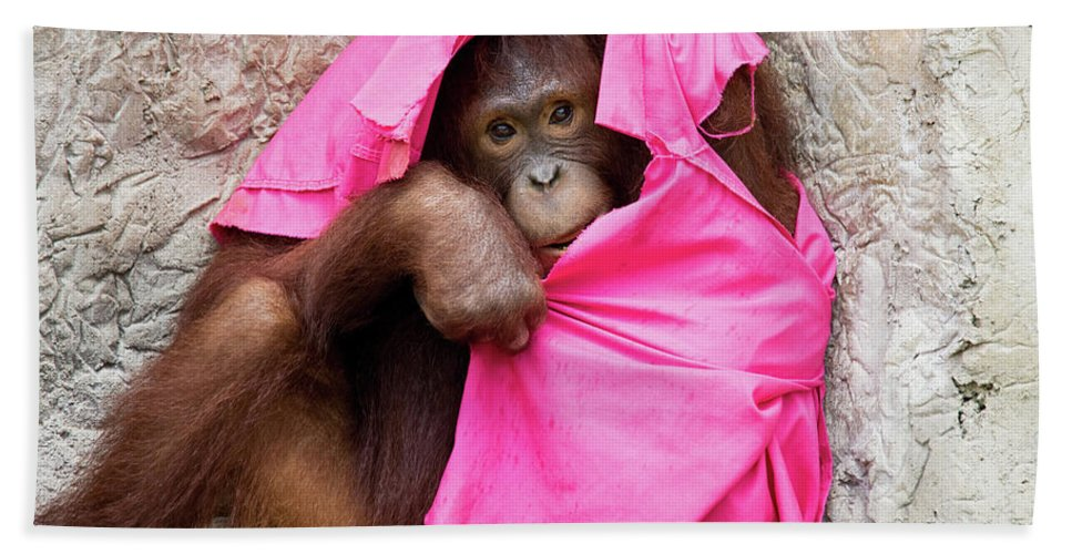 Orangutan Beach Towel featuring the photograph Juvenile Orangutan by John Black