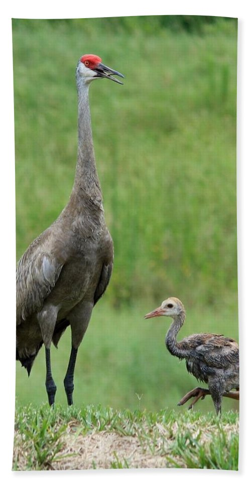 Sandhill Cranes Beach Towel featuring the photograph Juvenile Sandhill Crane With Protective Papa by Carol Groenen