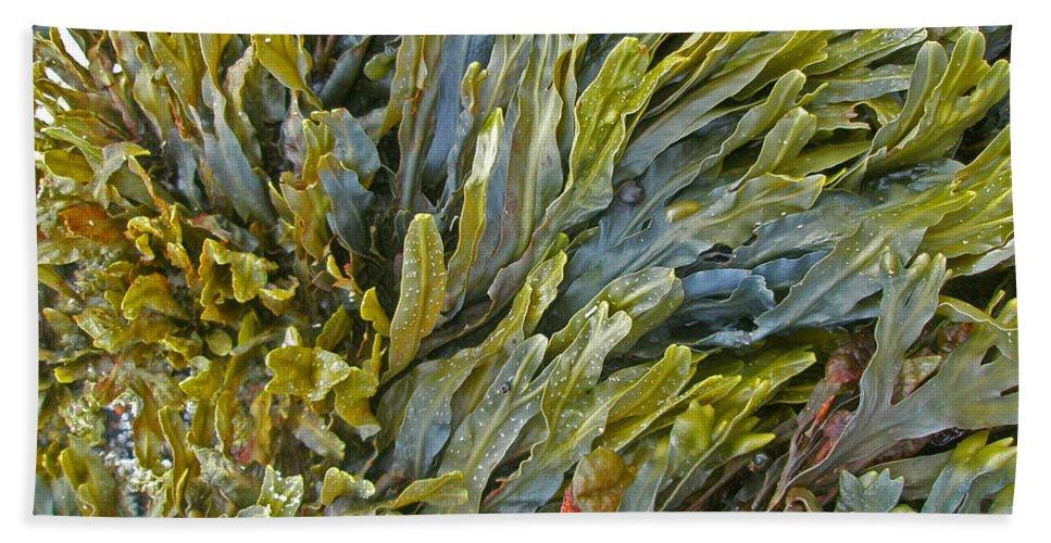 Kelp Seaweed Alge Green Leaves Wet Ocean Sea Beach  Sea Beach Towel featuring the photograph Kelp On A Rock by Mark Sellers