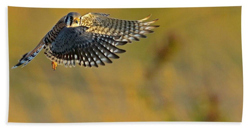 Kestrel Beach Towel featuring the photograph Kestrel Takes Flight by William Jobes