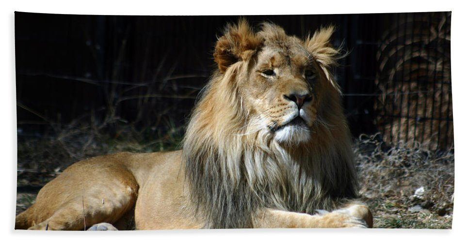 Lion Beach Towel featuring the photograph King by Anthony Jones
