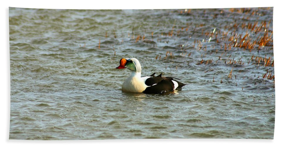 King Eider Beach Sheet featuring the photograph King Eider by Anthony Jones