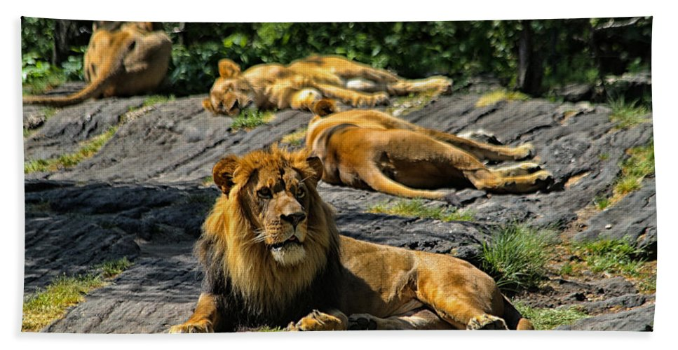 Lion Beach Towel featuring the photograph King Of The Pride by Karol Livote