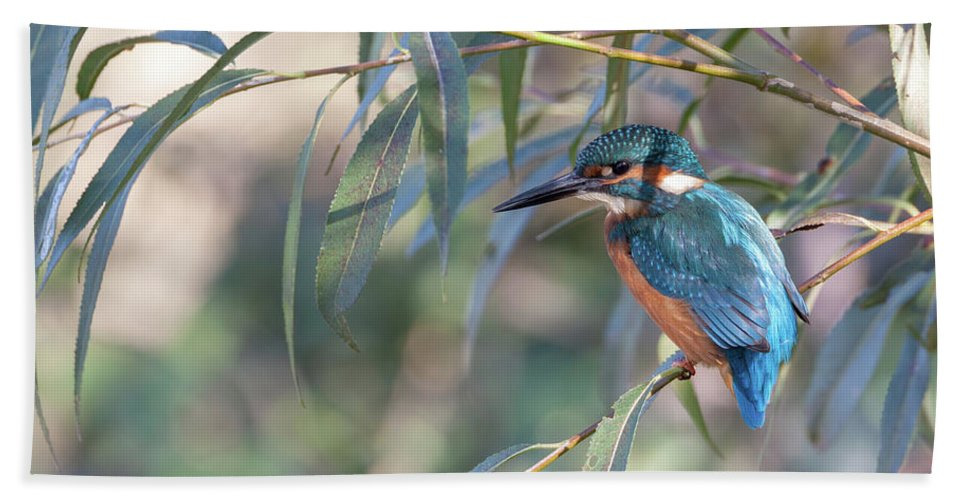 Kingfisher Beach Towel featuring the photograph Kingfisher In Willow by Peter Walkden